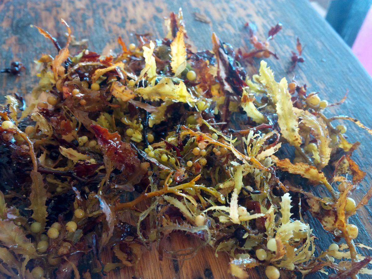 Sargassum up close